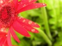 Deszcz krople na czerwonych kwiatów płatkach Fotografia Royalty Free