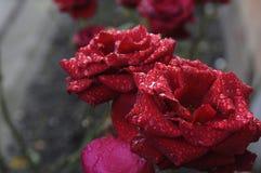 DESZCZ krople NA CZERWONYCH różach Zdjęcie Stock