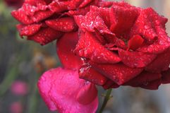 DESZCZ krople NA CZERWONYCH różach Zdjęcie Royalty Free