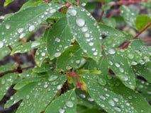Deszcz krople na liściach Fotografia Royalty Free