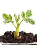 Deszcz krople na rośliny braird Zdjęcie Stock