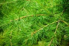 Deszcz krople na sosnowych igłach i lesie Obrazy Royalty Free