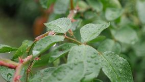 deszcz lasowej zieleni ulistnienie w deszczu Lato deszcz mokre liście mokra trawa chmurzy mokrą pogodę Nalewać deszcz zbiory