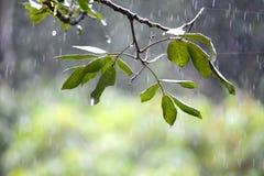 Deszcz na liściach Obrazy Royalty Free