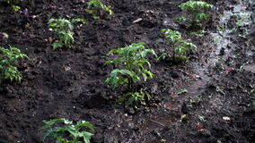 Deszcz Nad pomidoru gospodarstwem rolnym zdjęcie wideo