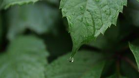 Deszcz opuszcza na tropikalnym liściu w miękkim zwolnionym tempie zbiory wideo