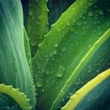 Deszcz opuszczający w zielonych liściach americana agawa Zdjęcie Royalty Free