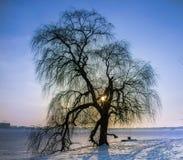 Det äldre trädet Royaltyfri Foto