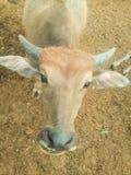 Det är den thai buffeln Arkivfoto