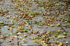 Det är mycket kastanjebruna ekollonar på jorden efter en stark vind Royaltyfri Fotografi