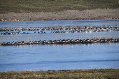 Det är vintern i Nederländerna, är det februarien, när all sort av olika fåglar och änder besöker denna erea Arkivbild