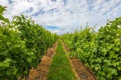 det åkerbruka områdesbegreppet rows vinesvingården Arkivfoto