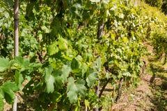 det åkerbruka områdesbegreppet rows vinesvingården Arkivfoton