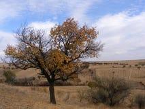 Det åldriga aprikosträdet som trotsar år, ska hälla ytterligare en gång ut lämnar 2 Royaltyfri Bild