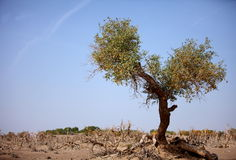 Det öken hjälte-Hjärta-formade vissna trädet i Ejinaqi Fotografering för Bildbyråer