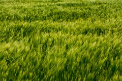 Det abstrakta sädes- gröna fältet blured grova spikar royaltyfria bilder