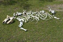 det africa djur benar ur noshörningnoshörningskelett Royaltyfria Bilder