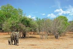 Det afrikanska landskapet med modern och behandla som ett barn elefanten som går till och med busken, den södra luangwaen, zambia Arkivfoton