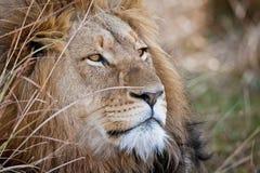 Det afrikanska lejonet royaltyfri bild