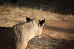 Det afrikanska lejonet ser bort Royaltyfria Bilder
