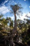 Det Altay trädet och stort rotar Arkivbilder