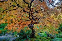 Det annat trädet för japansk lönn i höst Royaltyfri Bild