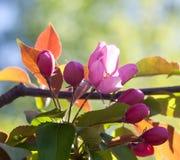 Det Apple trädet blommar makrosikt Rosa färg Arkivfoton