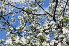 Det Apple trädet blommar på en blå himmel Arkivbild
