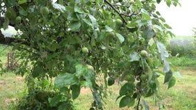 Det Apple trädet fattar på den regniga dagen i sommarträdgård 4K lager videofilmer