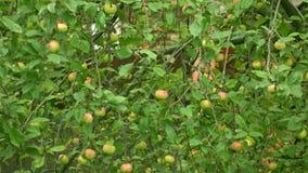 Det Apple trädet med gröna och röda äpplen 4K sköt länge arkivfilmer