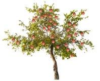 Det Apple trädet med stora rosa färger bär frukt på vit royaltyfria foton