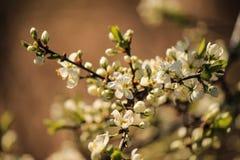 Det Apple trädet på våren fotografering för bildbyråer