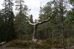 Det arga trädet Ett utstående träd på Rovaniemi Finland arkivbilder