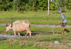 det asia buffelfältet plöjer ricevatten Arkivfoton