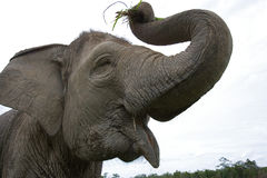 det asiatiska försvarelefantögat har huvudet dess like många art för format för nr Indonesien sumatra VägKambas nationalpark Royaltyfri Fotografi