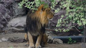 Det asiatiska lejonet med vaggar på bakgrund lager videofilmer