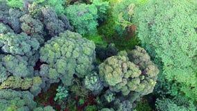 Det bästa skottet för antennen 4k av evegreen bergskogen med härliga träd på solig dag lager videofilmer