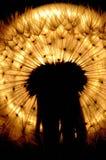 det bakbelysta deandelionhuvudet kärnar ur Royaltyfri Foto