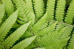 Det Beautyful bladet av ormbunken är närbildbakgrund arkivfoton