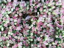 Det bevingade biet flyger långsamt till växten, mot efterkrav nektar arkivbild
