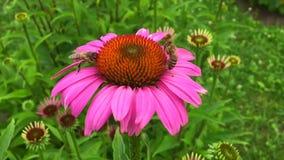 Det bevingade biet flyger långsamt till växten, mot efterkrav nektar för honung på den privata bikupan från blomman lager videofilmer