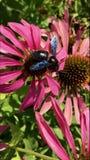 Det bevingade biet flyger l?ngsamt till v?xten, mot efterkrav nektar f?r honung p? den privata bikupan fr?n blomman arkivbilder