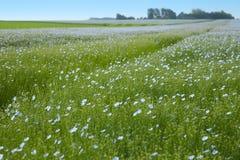 Det blåa fältet av lin Royaltyfria Foton