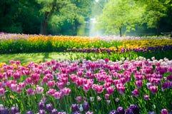 det blåa fältet blommar den soliga tulpan för liggandeskyfjädern Arkivbilder