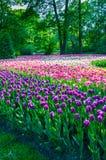 det blåa fältet blommar den soliga tulpan för liggandeskyfjädern Arkivbild