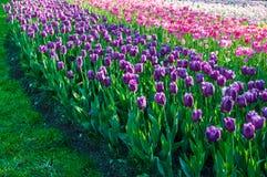 det blåa fältet blommar den soliga tulpan för liggandeskyfjädern Arkivfoto
