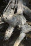 Det blekte trädet rotar, kusten av Jenny Lake, Jackson Hole, Wyoming Royaltyfria Foton