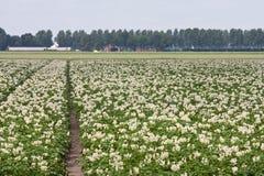 det blomma fältet planterar potatisen Arkivbilder