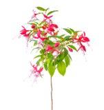 Det blommande härliga stamträdet av den röda och vita fuchsiablomman är Arkivbild