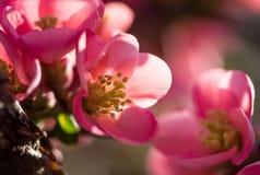 Det blommande trädet med rosa färger blommar i vår Royaltyfri Foto